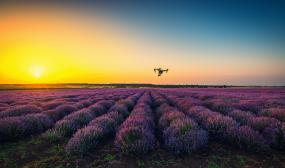 Flying drone over lavender field in a golden sunset